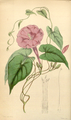Curtis's Botanical Magazine, Plate 4280 (Volume 73, 1847).png