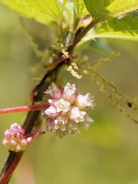 Cuscuta europaea (flowers)