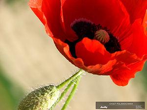 cvijet poljskog maka