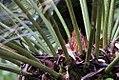 Cycas revoluta 39zz.jpg