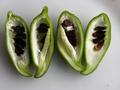 Cyclanthera pedata.png