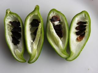 Cross section of the fruits of Cyclanthera pedata (Cucurbitaceae)