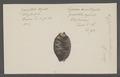 Cypraea histrio - - Print - Iconographia Zoologica - Special Collections University of Amsterdam - UBAINV0274 088 02 0029.tif