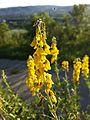 Cytisus nigricans sl7.jpg