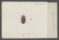 Dacne - Print - Iconographia Zoologica - Special Collections University of Amsterdam - UBAINV0274 037 03 0005.tif