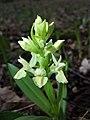 Dactylorhiza sambucina sl35.jpg