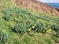 Daffodils near Dorminack - geograph.org.uk - 126150.jpg