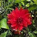 Dahlia Flowers (10).jpg