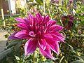 Dahlia flower.jpg