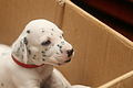 Dalmatian puppy, three weeks-8.JPG