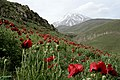 Damavand dashte shaghayegh - panoramio.jpg