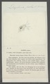 Daphnia pulex - - Print - Iconographia Zoologica - Special Collections University of Amsterdam - UBAINV0274 099 06 0004.tif