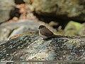 Dark-sided Flycatcher (Muscicapa sibirica) (15710693067).jpg