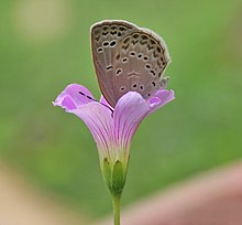 Dark Grass Blue (Zizeeria karsandra) at Jayanti, Duars W Picture 347.jpg