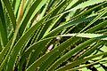 Dasylirion acrotrichum in Jardin des plantes de Montpellier 02.jpg