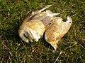 Dead Barn Owl - geograph.org.uk - 241252.jpg