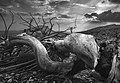 """Dead tree """"the snake"""".jpg"""