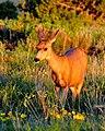 Deer (3713188137).jpg