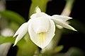 Dendrobium trinervium (Indo-China or Malaysia) Ridl., J. Linn. Soc., Bot. 32- 242 (1896) (37416210785).jpg