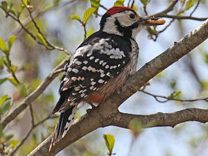 White-backed woodpecker - Male D. leucotos
