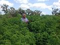 Desmanthus bicornutus Coastal variety at JCU, Townsville, Jan 2015 3191 (2).jpg