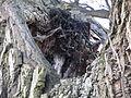 Detail Stamm Babisnauer Pappel 2.JPG