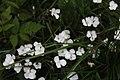 Dianthus cretaceus 58748176.jpg