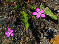 Dianthus glacialis 02.JPG