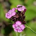 Dianthus sp (31114230038).jpg