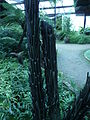 Dicksonia squarrosa 03 by Line1.JPG