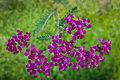 Die Schafgarbe, lat. Achillea millefolium, 'Cerise Queen' 07.jpg