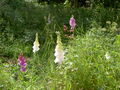 Digitalis-stora hultrum.sweden-03.jpg