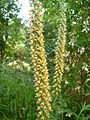 Digitalis ferruginea 1.JPG