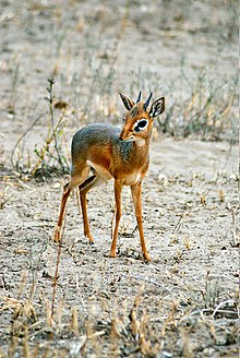 IMAGE(http://upload.wikimedia.org/wikipedia/commons/thumb/b/b6/Dik-dik_%28male%29_-Tarangire_National_Park_-Tanzania.jpg/220px-Dik-dik_%28male%29_-Tarangire_National_Park_-Tanzania.jpg)