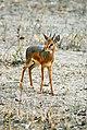 Dik-dik (male) -Tarangire National Park -Tanzania.jpg