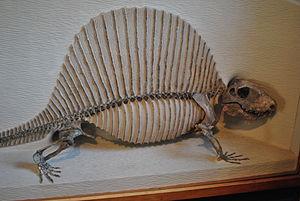 Pelycosaur - Mounted skeleton of Dimetrodon mileri, Harvard Museum of Natural History