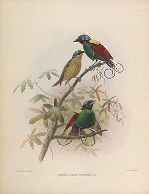 Wilson's bird-of-paradise - Image: Diphyllodes respublica