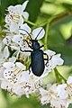 Ditylus laevis (Oedemeridae) dining on flowers of Sorbus sibirica (35614371482).jpg