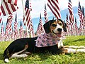 Doggie Patriot, Phoenix National Cemetery (5991358983).jpg