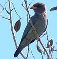 Dollarbird (Eurystomus orientalis) 01.jpg