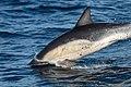Dolphin (23717996273).jpg