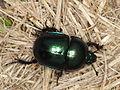 Dor beetle (Geotrupidae indet.) from Slovakia (7375999832).jpg
