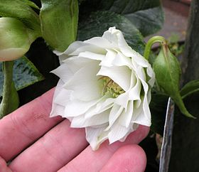Double white hellebore hybrid 'Betty Ranicar'.JPG