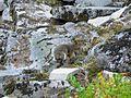 Douglas squirrel, Tamiasciurus douglasii - Flickr - GregTheBusker.jpg