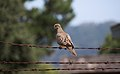 Dove on barbed wire on Angel Island (40067).jpg