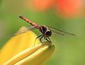 Dragonfly - 蜻蛉(とんぼ) (6035963605).jpg
