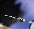 Dragonfly in flight 2 (1350589491).jpg