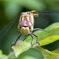 Dragonfly watching me.jpg