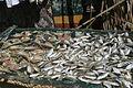 Drying fish (guinamos).JPG