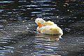 Duck (11128264114).jpg